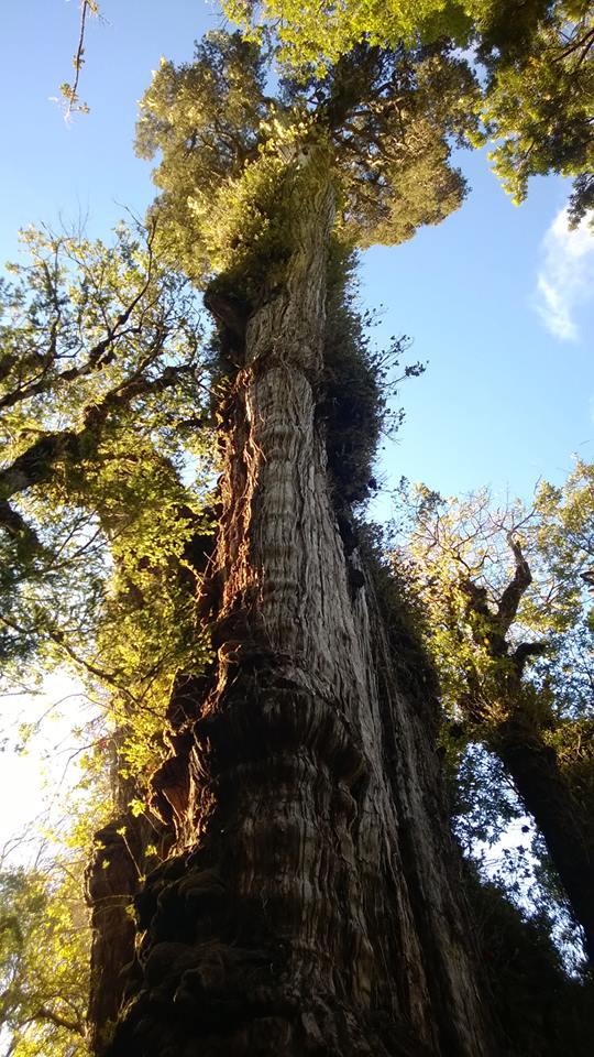 Abuelo Alerce  Parque Nacional Alerce Costero Chile. Siendo este el alerce el árbol más longevo de sudamérica y el segundo más longevo del planeta.