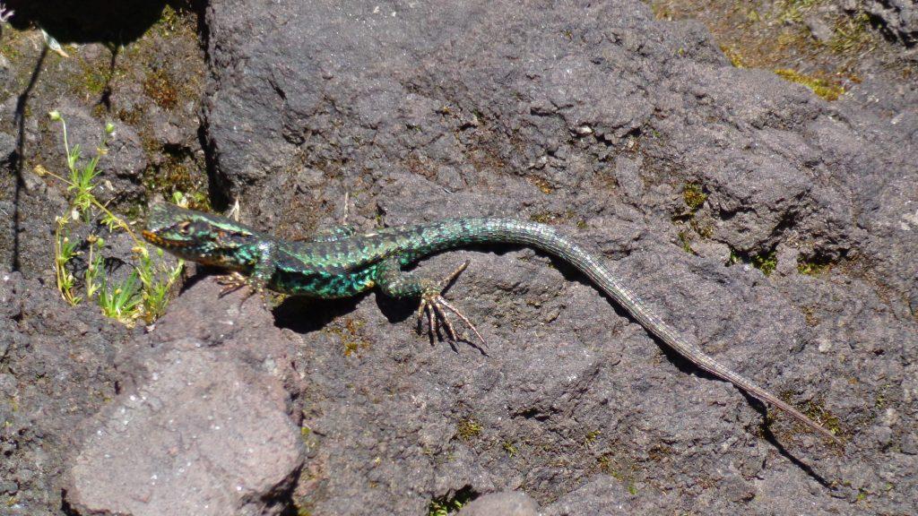 Un ecosistema único esta apreciando esta linda lagartija pintada, característica del lugar