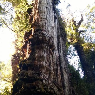 El Árbol mas longevo de sudamerica.