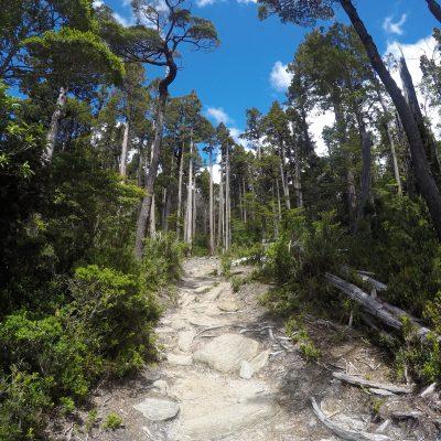 2,4 km de sendero separan la entrada del parque con el Alerce más longevo del planeta.